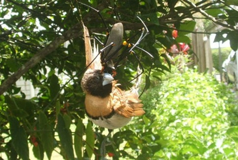 spider eating a bird
